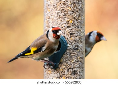 Two goldfinches (Carduelis carduelis) on a bird feeder in a UK garden during Winter. Devon, December.