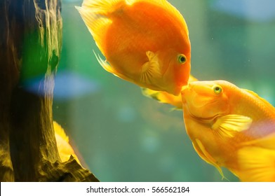Two goldfish in an aquarium