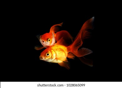 two goldfish on a black background