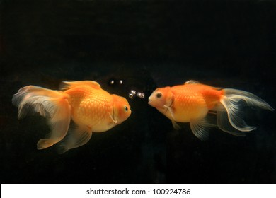 Two goldfish  swim in a water