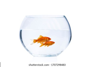 Two goldfish swimming in a fishbowl isolated on a white background