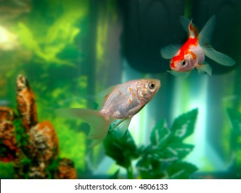 two goldfishes