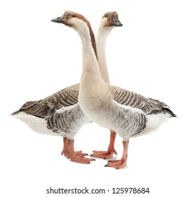 two goose on a white background
