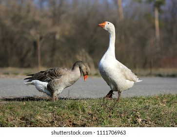 two gooses on rural pasture in sunny day