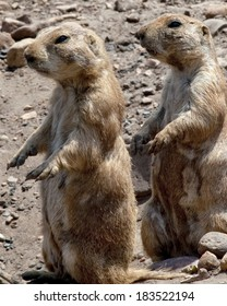 Two gophers standing