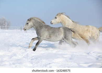 Two gorgeous ponnies running together on snow in winter