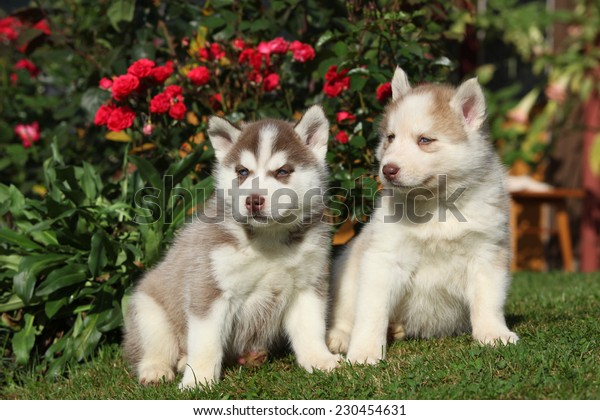 Two gorgeous puppies of siberian husky sitting in front of red roses