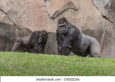 Two gorillas talking