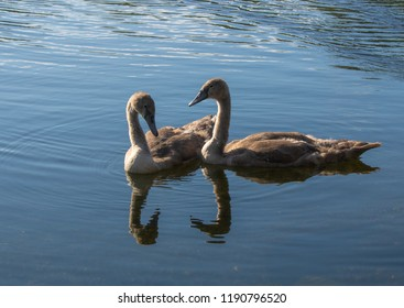 Two goslings siblings spending quality time together