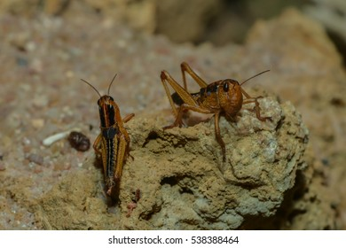 two grasshoppers on a rock