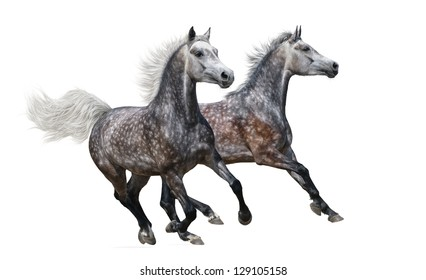 Two gray arabian mares gallop on white background