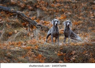 Two gray dogs of the Weimaraner breed sit in the autumn forest on the grass and look straight ahead