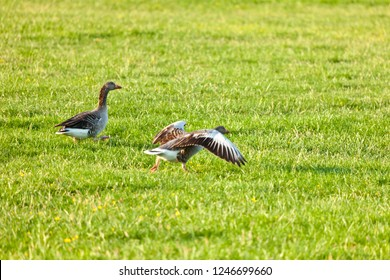 The two gray geese want to leave quickly