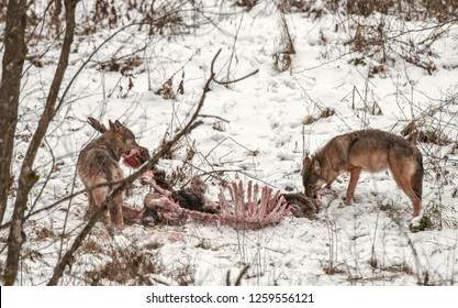 Two gray or grey wolves eating carcass of a deer, spotted in winter in the Bieszczady Mountains, Poland. The deer was killed previous night by the wolf pack