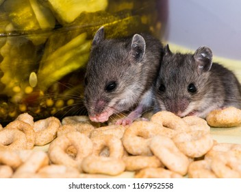 Two gray juvenile house mice, mus musculus, in a kitchen cabinet in front of a jar of pickles. The floor of the cabinet is covered in spilled cereal.