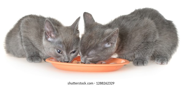 Two gray kitten eating cat food from a bowl on a white background.