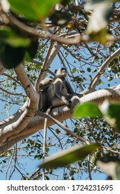 Two Gray Langur monkeys in a tree taking care of each other, in Pushkar, India.