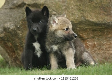 Two gray Northwestern wolfs (Canis lupus occidentalis) also called timber wolf sitting before a rock. A cute grey Northwestern wolf puppies in human care on a green grass.