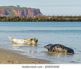 Two gray seals on the beach of the North Sea island Helgoland, in the background the red steep bank can be seen