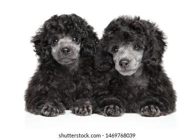 Poodle Images, Stock Photos & Vectors | Shutterstock