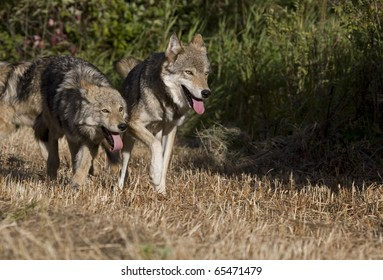 Two Gray Wolfs running together in a meadow
