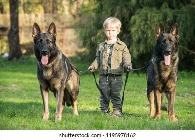 Two gray working line German shepherds and kid