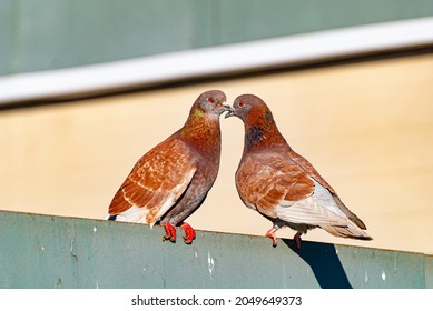 two gray-brown pigeons sit on the fence beak to beak under the bright sun