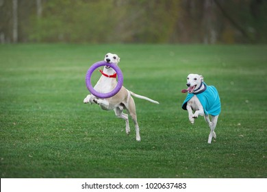two grayhounds dog play with ruber ring in park