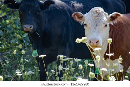 Two Grazing Heifers