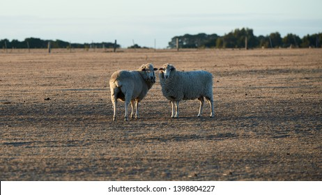 Two grazing sheep looking at the camera on a drought affected Australian farm in the low light of sunrise or sunset.