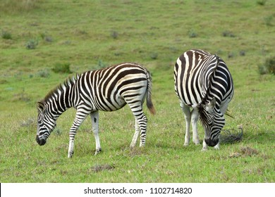 Two grazing Zebras in African savanna