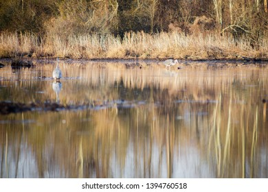Two great blue herons (Ardea herodias) standing in a lake and looking for fish in Occoquan Bay National Wildlife Refuge