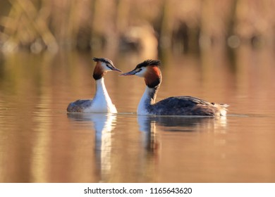 Two great crested grebe, Podiceps cristatus, mating in springtime season