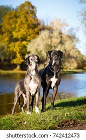 Two great dane dog