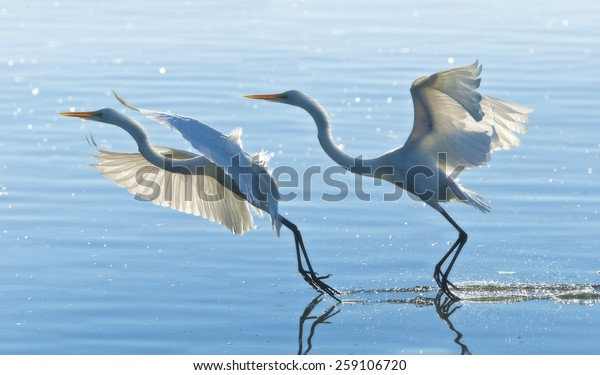 two-great-egrets-gracefully-landing-600w