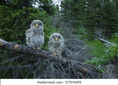 Two great gray owl chicks sit on a branch in Grand Teton National Park, Wyoming.
