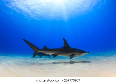 Two great hammerhead shark swimming over the sand in shallow clear water, Bimini, Bahamas