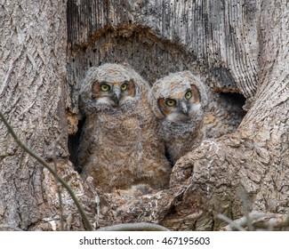 Two great horned owlets peek out from their nest in Pennsylvania.