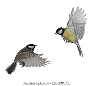 two great tits in flight isolated on white background