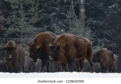 Two Great Wild Brown Bison (Wisent) Go Along At Winter Forest. Couple European Aurochs ( Bison, Bison Bonasus ) Walk  Among The Trees. Big Brown European Wood Bison In The Nature Habitat.Belarus