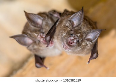 Two greater horseshoe bat (Rhinolophus ferrumequinum) this species occurs in Europe, Northern Africa, Central Asia and Eastern Asia. It is the largest of the horseshoe bats in Europe.
