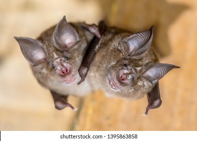 Two greater horseshoe bat (Rhinolophus ferrumequinum) occurs in Europe, Northern Africa, Central Asia and Eastern Asia. It is the largest of the horseshoe bats in Europe.