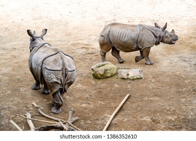 Two greater one-horned rhinoceros, Indian rhinoceros, rhinoceros unicornis (Rhinoceros unicornis) walking.