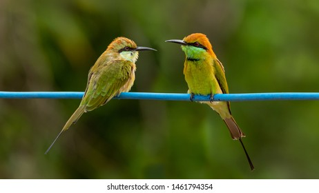 Two Green Bee-Eater perching on blue electrical wire, looking at each other