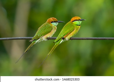 Two Green Bee-Eaters perching on electrical wire, looking into a distance
