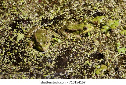 two green frog sits and basks in the sun, South Ural