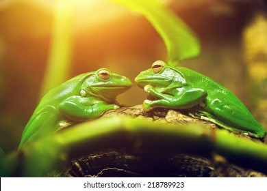 Two green frogs sitting on leaf looking on each other like a couple about to kiss.