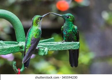 Two Green hummingbirds in the Monteverde region of Costa Rica