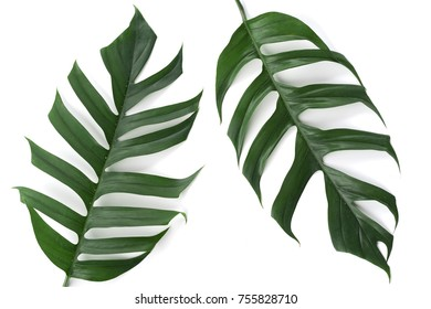 two green leaf of monstera isolate on white background