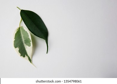 Two green leaves on white background. One leaf has white spots. Vitiligo skin problem symbol. Rare Disease concept. Genetic mutation in nature. Ficus benjamina, copyspace, topview